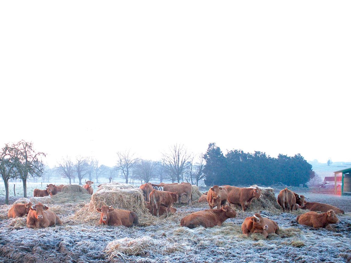 Les-vaches